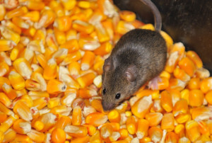 Call our rodent control pros today! (954) 241-3211