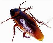 Call our cockroach control professionals, today! (954) 241-3211